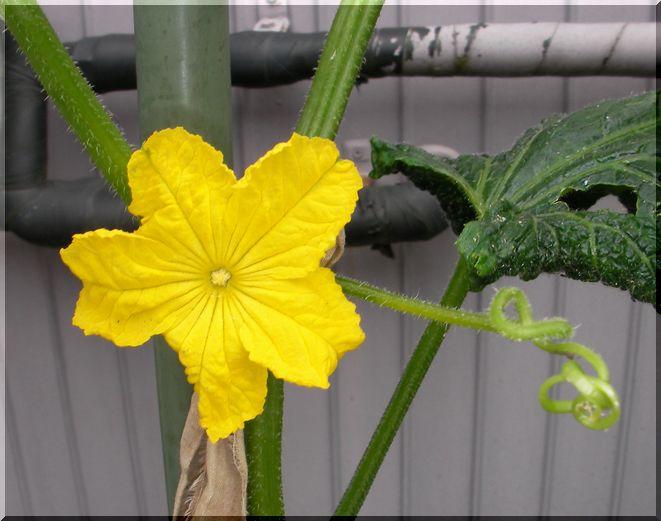 cucuflower3.jpg