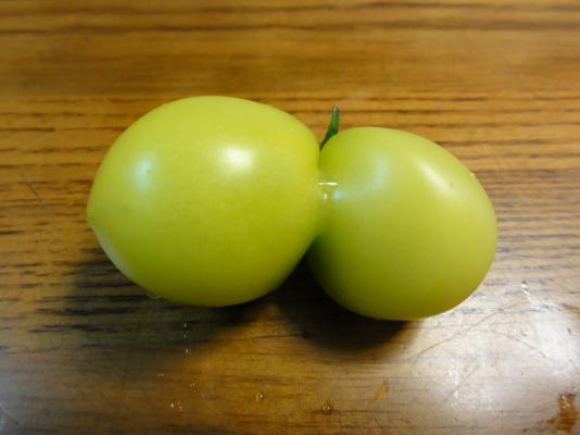 一卵性双生トマト1