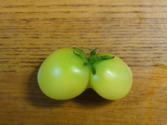 一卵性双生トマト2