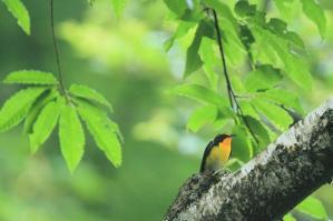 キビタキ_塩嶺小鳥の森