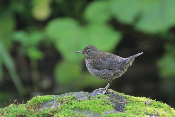カワガラス幼鳥