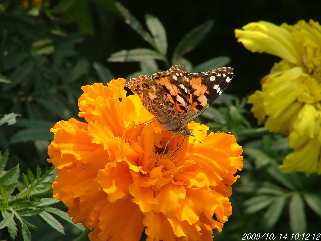 1ヒメアカタテハ蝶1014画像0033
