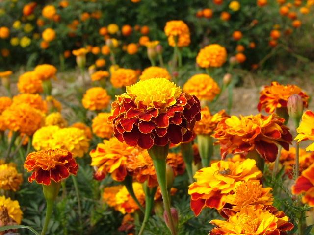 5マリーゴールドの花_1014画像0014