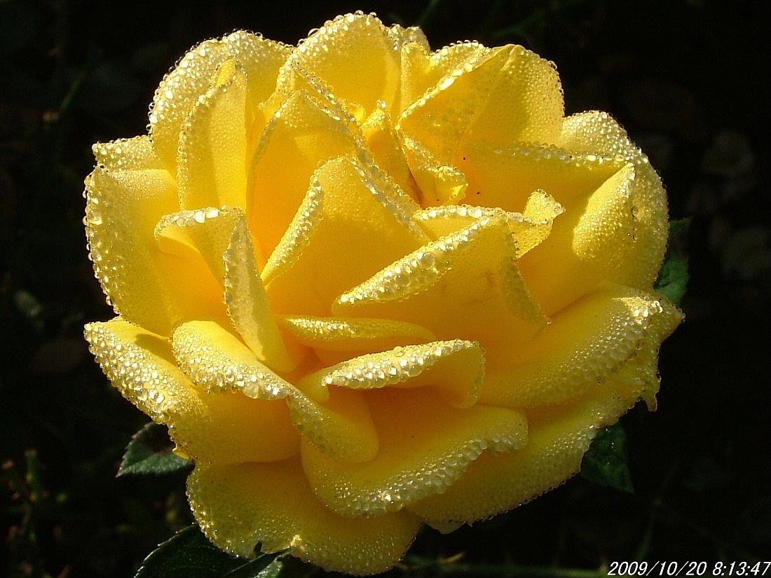 1-1黄バラ2009_1020画像0016