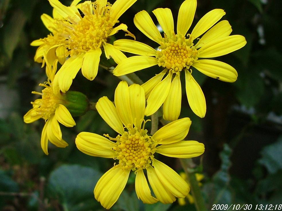 1つわぶきの花1030画像0003