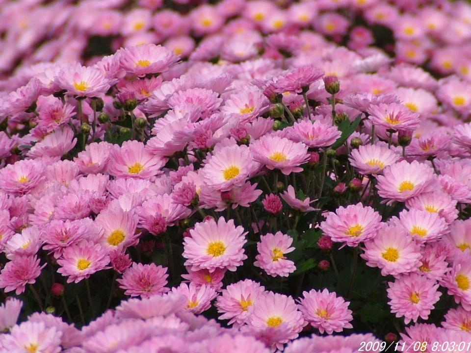 1菊の花畑1108画像0002