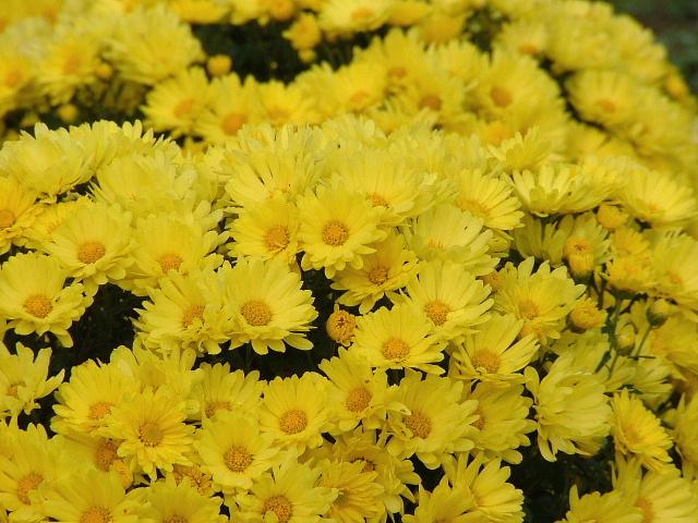 2菊の花畑(黄色)1108画像0003