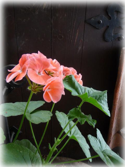 ベランダの花-6