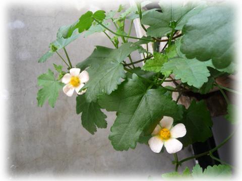 ベランダの花-2
