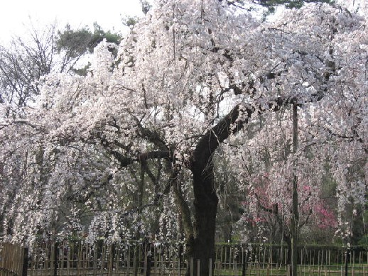 2010.3.20 京都御苑2