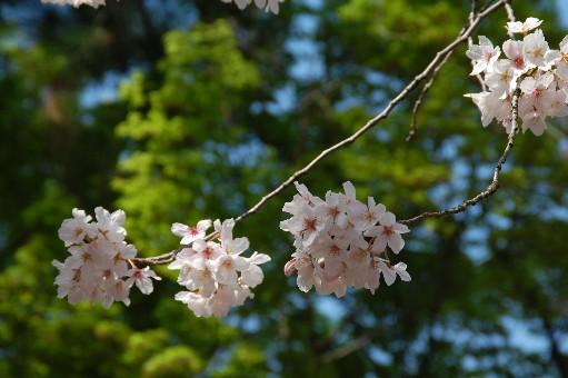 2010道明寺天満宮 桜2