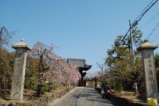 2010道明寺 桜3