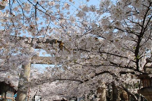 2010道明寺天満宮 桜1