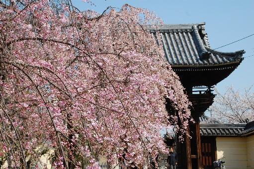 2010道明寺 桜1