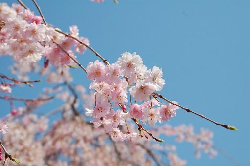 2010道明寺 桜2