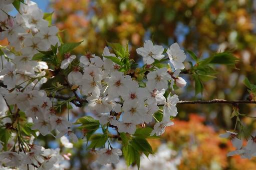 2010道明寺天満宮 桜6