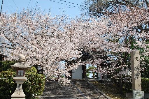 2010道明寺天満宮 桜5