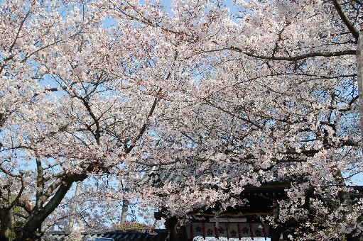 2010道明寺天満宮 桜4