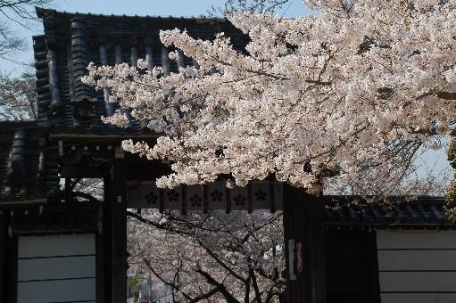 2010道明寺天満宮 桜3