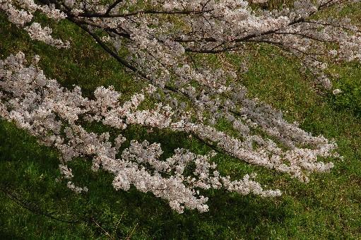 2010狭山の桜5