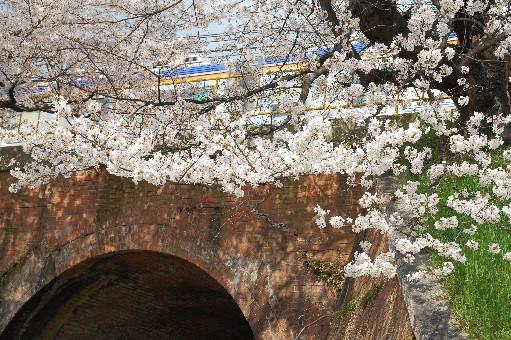 2010狭山の桜4