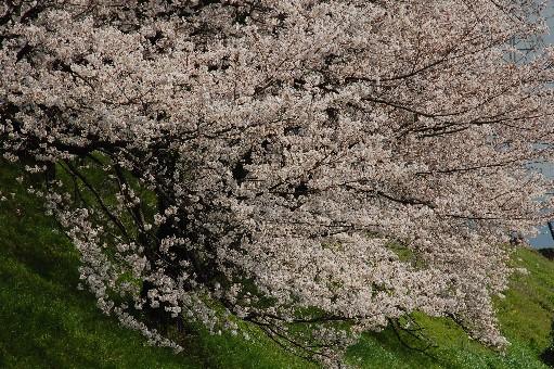 2010狭山の桜2