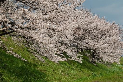 2010狭山の桜3