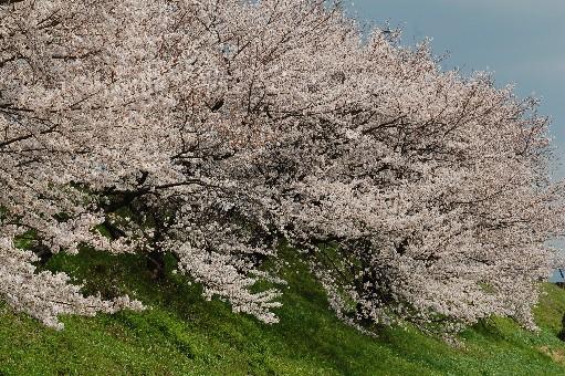 2010狭山の桜1