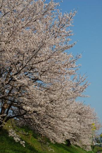2010狭山の桜8
