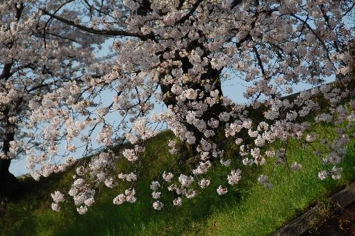 2010狭山の桜7