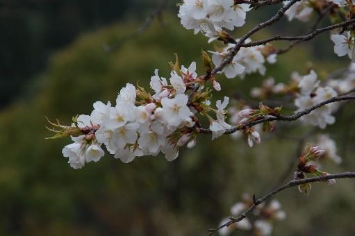 2010.4.3観心寺5