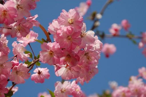 2010.4.10桜6