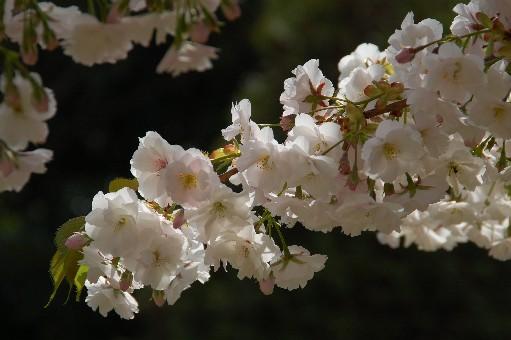 2010.4.10桜1