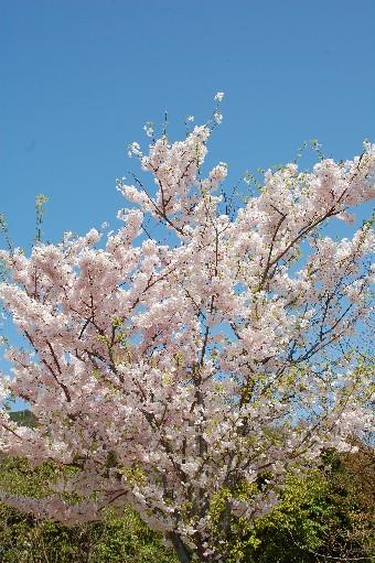 2010.4.10桜