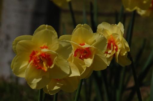 2010.4.10水仙