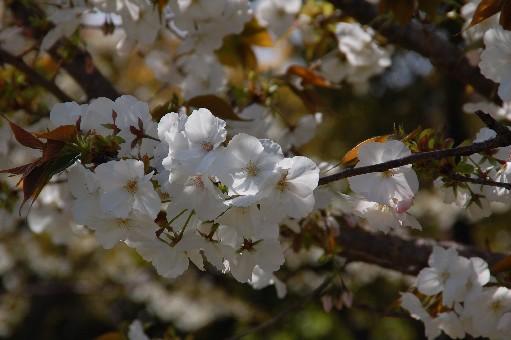 2010.4.10桜4