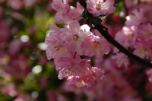 2010.4.10桜3
