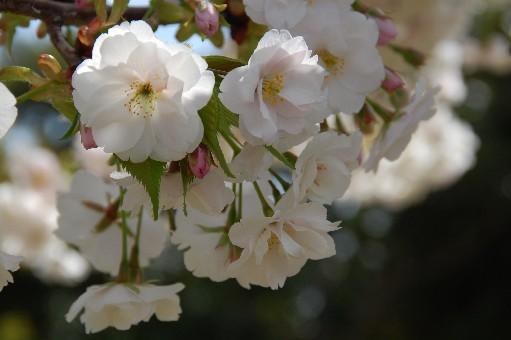 2010.4.10桜2