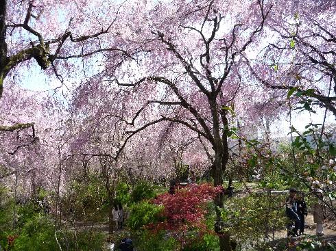 kiyoko原谷苑1
