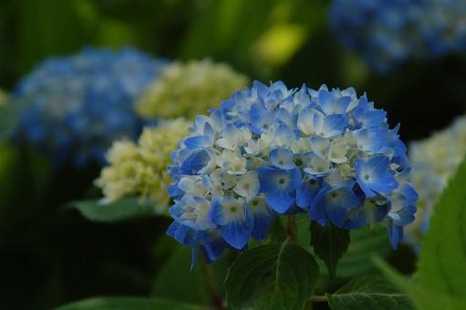 2010.6.12紫陽花