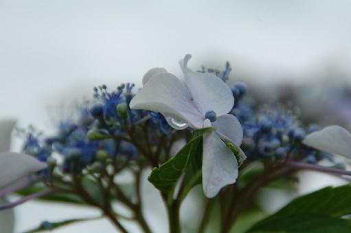 2010.6.19紫陽花9