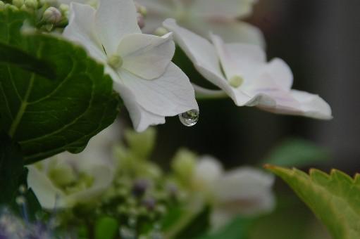2010.6.19紫陽花10