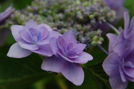 2010.6.19紫陽花17