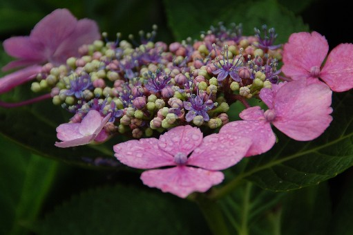 2010.6.19紫陽花13