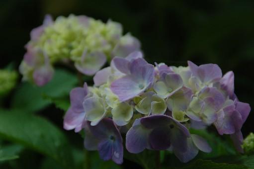 2010.6.19紫陽花22