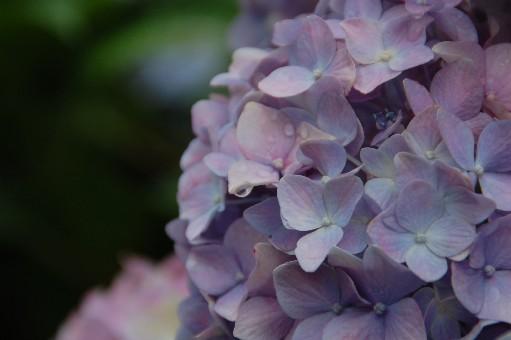 2010.6.19紫陽花20