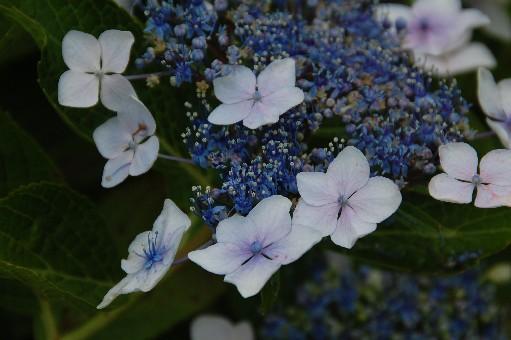 2010.6.19紫陽花19