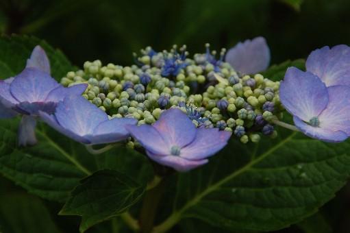 2010.6.19紫陽花25