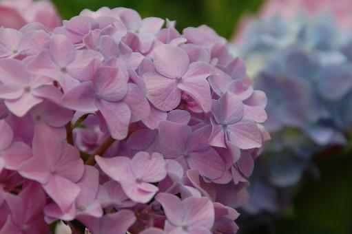 2010.6.19紫陽花26