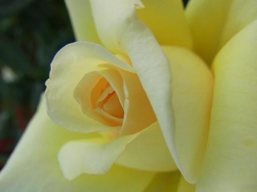 2010.10.12バラ6